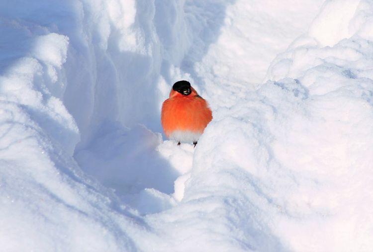Close-up of  eurasian bullfinch in snow