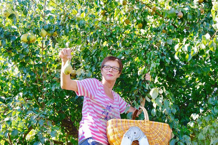 Low Angle View Of Woman Picking Pears On Tree