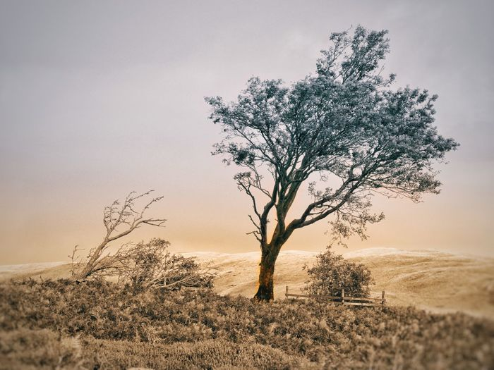 Bent and wind blown tree on field against sky. muted, split tone colour.