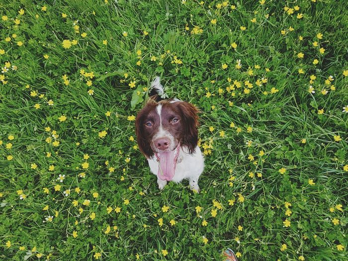 Taking Photos Photography Taking Photos Nikonphotography Doubletap NikonD5500 Beautyineverything Enjoying Life Eyeemphotography Beautiful Nature Beginnerphotographer Springerspaniel This Week On Eyeem Check This Out Photooftheday Beautiful EyeEm Nature Lover Photographer Springer Summer Fields English Springer Spaniel Spaniel