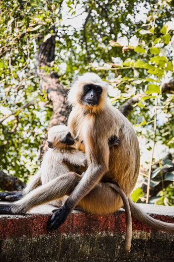 Monkey sitting on a large rock and feeding his child