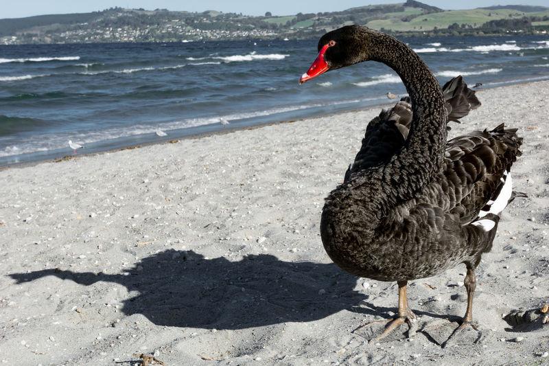 Black swan at Lake Taupo, New Zealand. Animal Themes Beach Bird Black Swan Day Lake Taupo New Zealand One Animal Sand Shore Water Zoology
