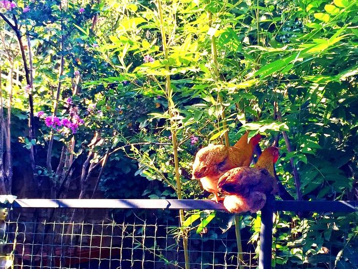 Enjoying Hens In Backyard 2
