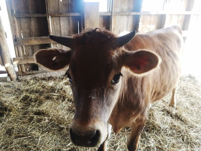 Close-up portrait of cow standing
