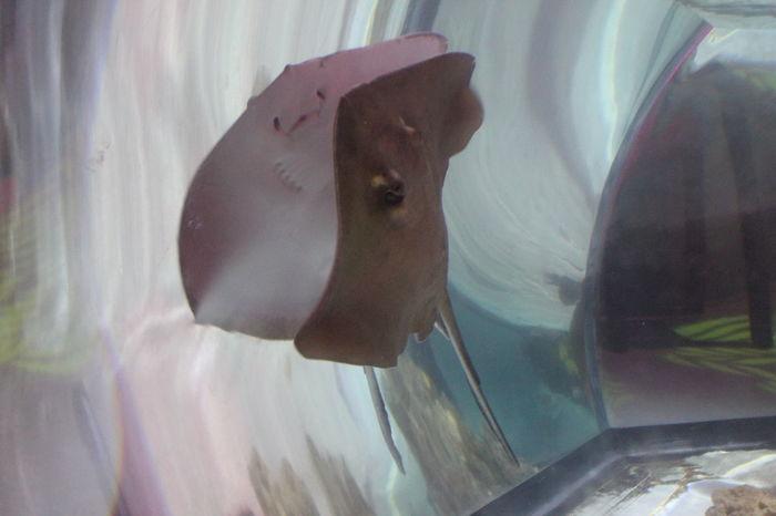 Animal Themes Aquarium Nature No People One Animal Reflection Sea Life Sea Life Aquarium Stingray Swimming Underwater Water