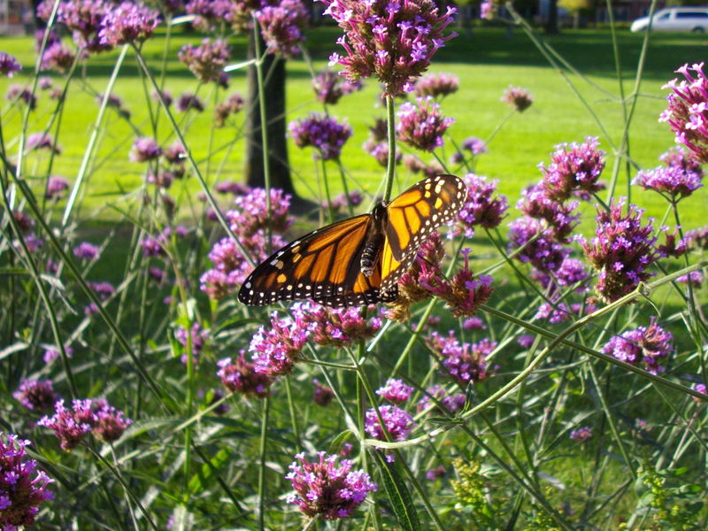 Animal Themes Animals In The Wild Beauty In Nature Blooming Butterfly - Insect Close-up Day Flower Flower Head Fragility Freshness Green Growth Insect Monarch Butterfly Nature No People One Animal Orange Outdoors Petal Plant Pollination Purple