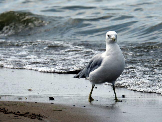 Seagull Serenity Seagull Seagull. Seagulls At The Lake
