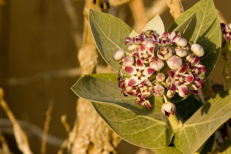 Desert flower in bloom. Color Of Life Desertlife Flowers Desertrose Oman Delicate Beauty The EyeEm Collection