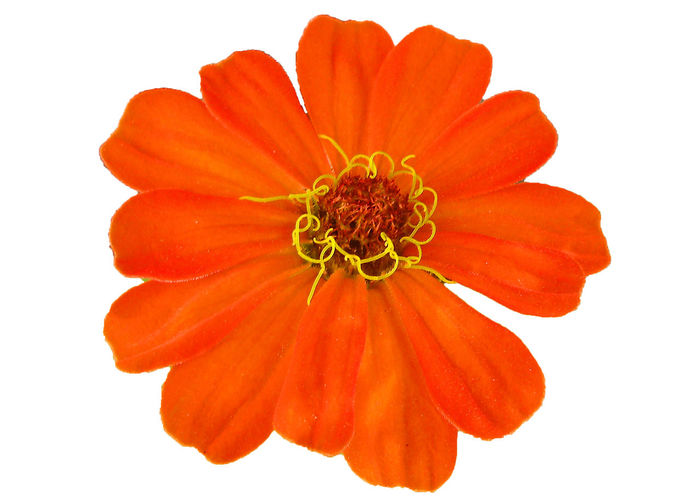 Close-up of orange flower against white background