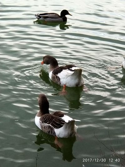 Bird Swimming Duck Water Animals In The Wild Lake Animal Themes