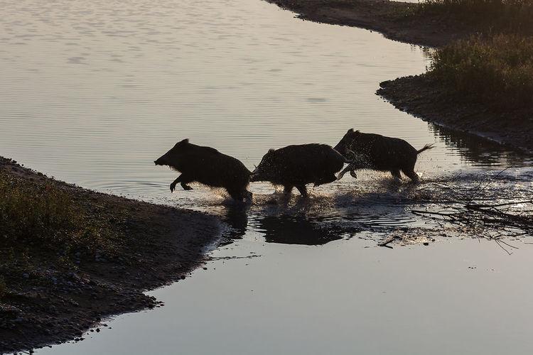 Wild boars at lake