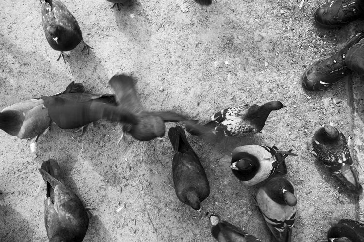 Pigeons blackandwhithe street park shoes Close Up High Angle View Day Outdoors Outdoor Photography Life Lviv Ukraine Lwow Golebie Pet Portraits