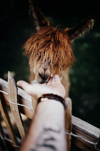 Cropped image of hand touching alpaca