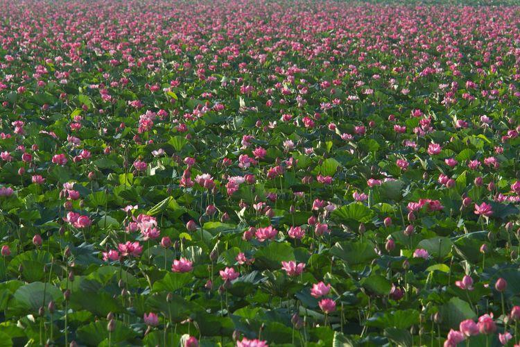 Flowers Lotus Flower 伊豆沼