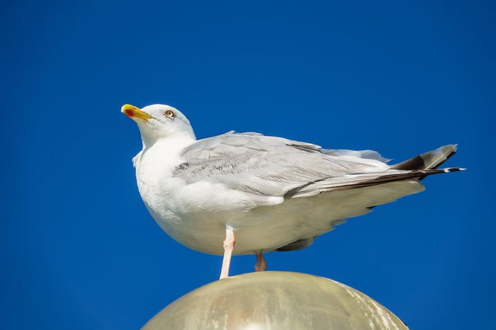 Sea gull on the Baltic Sea coast. Sea Gull Animal Themes Animal Wildlife Animals In The Wild Bird Blue Clear Sky Close-up Day Gull Low Angle View Nature No People One Animal Outdoors Perching Sea Bird Seagull Sky