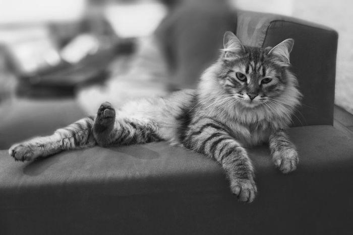 My lovely cat ❤️ CattSiberiannSiberiancattMycattCute PetssBeautiful Animals s Lovely Pet Portraits
