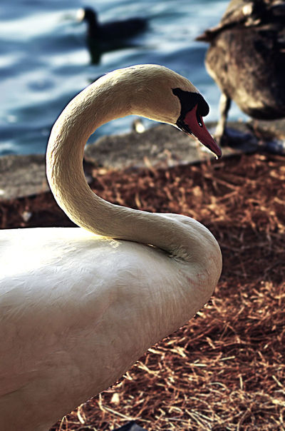Animal Themes Animals In The Wild One Animal Animal Wildlife Water Outdoors Close-up Day Lake Nature Bird Beauty In Nature No People Swan Lake Eola Lake Eola Park Orlando Orlando Florida Swans Swans ❤ Nature Photography Nature_collection Nature_perfection Nature Birds