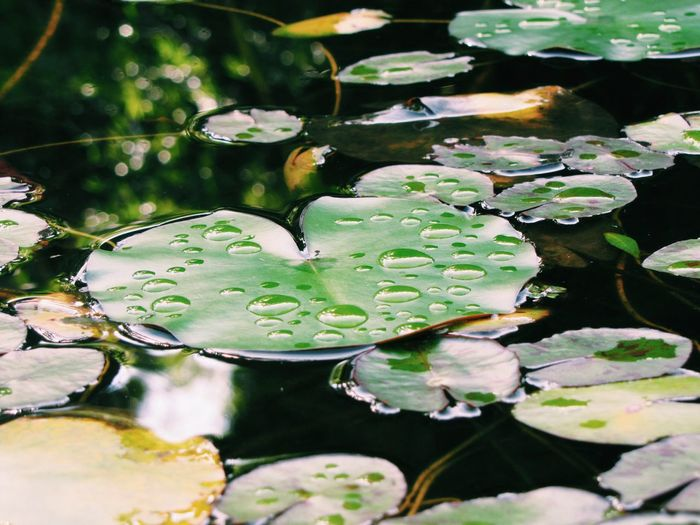 Water Beauty In Nature Nature Lily Pad Water Lily Growth Floating On Water Leaf Freshness Plant No People Outdoors Reflection Fragility Close-up Lotus Water Lily Flower Day The Great Outdoors - 2017 EyeEm Awards The Portraitist - 2017 EyeEm Awards Live For The Story