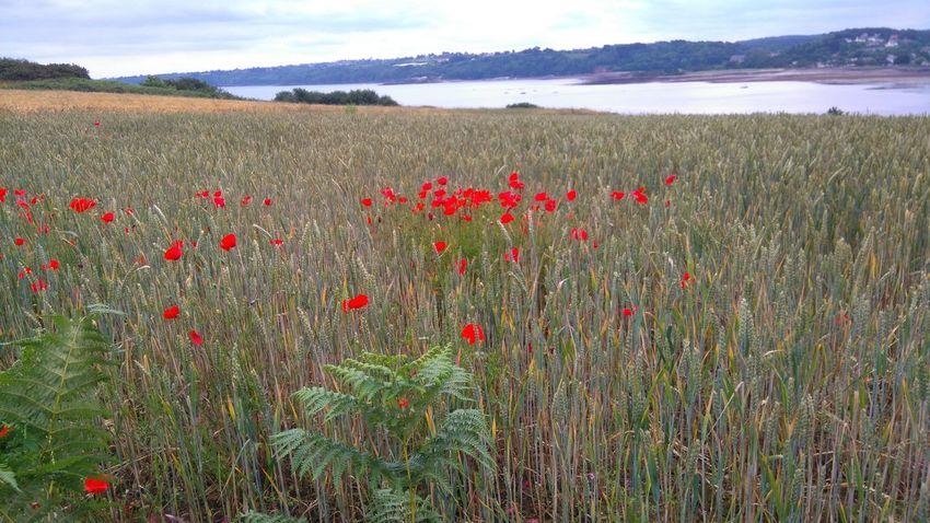 Beauty In Nature Coquelicotssauvages Coquelicots Enjoying Life Natural Light Nofilter#noedit Flower Photography Coquelicotsrouges Bretagne