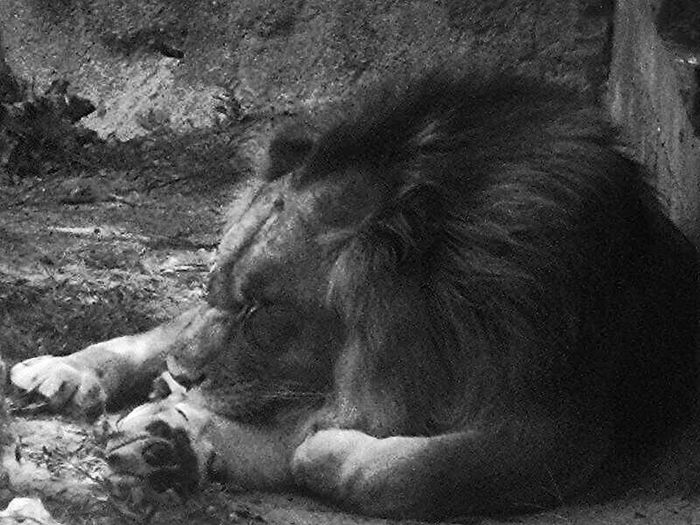 Lion Feline Mammal Zoo Tyler TX Caldwellzoo Check This Out Once In A Lifetime