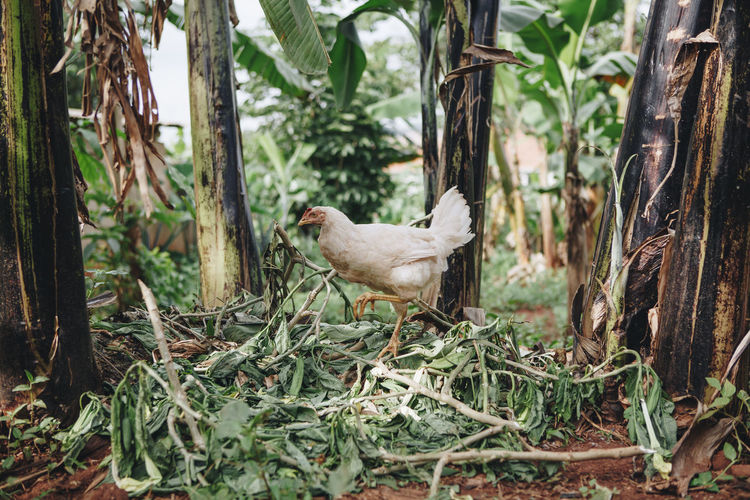 Africa African Animal Themes Birds Chicken Chickens Day Dirt Domestic Animals Farm Farming Freerange Hen Leaves Nature No People Outdoors Poor  Poultry Poultry Farming Poverty Tree Trees Tropical Climate Village