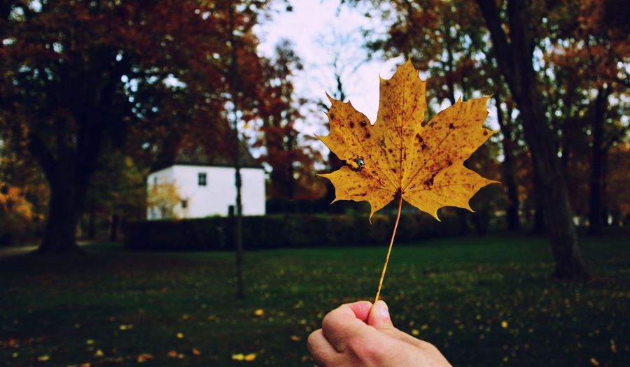 Cropped hand holding maple leaf at park during autumn
