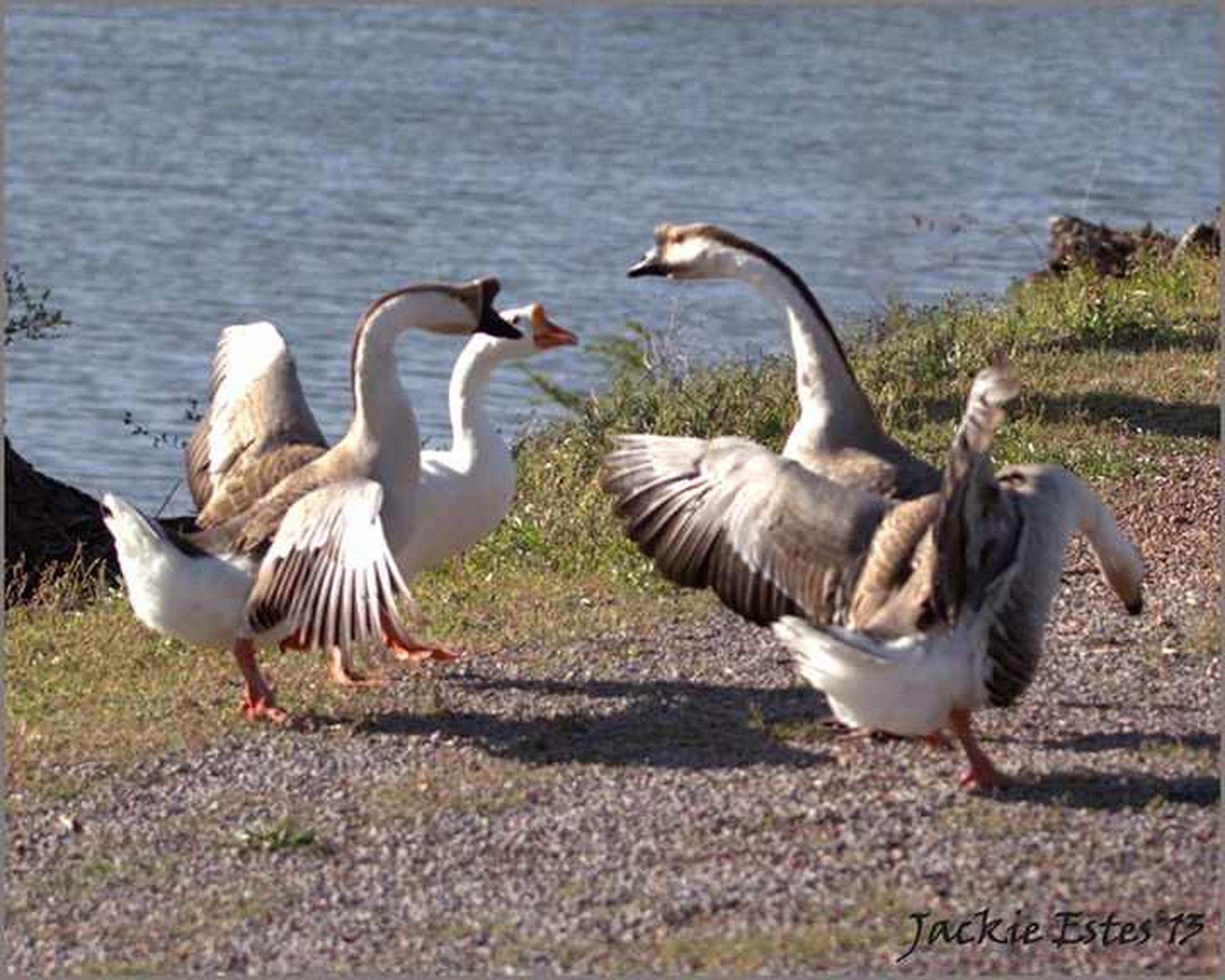 bird, animal themes, animals in the wild, wildlife, togetherness, water, nature, two animals, lake, zoology, sunlight, side view, outdoors, no people, duck, vertebrate, day, grass, lakeshore, goose