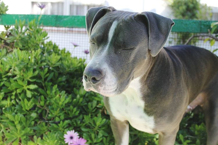 Animal American Stanford  Profile Staffy Pets Beauty Lovely American Bully Blue Lovedogs Puppy Dog Cute Boy Cute Pets Blue Eyes One Animal