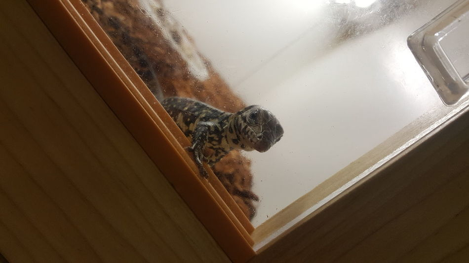 Dinky Reptiles and Aquatics DinkyReptiles Tegu Hatchling Exotic Petstore EyeEm Selects Reptile Lizard