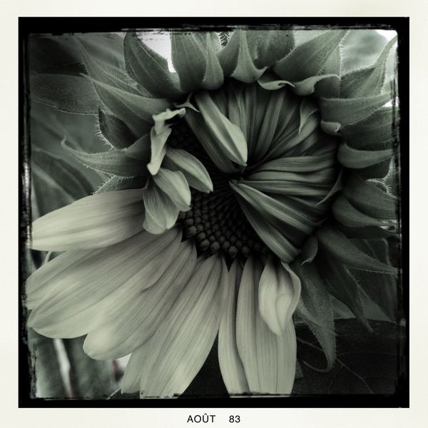 #Oggl#Helianthus#Flower#Makebeautiful#Hipstamatic#Hipstaconnect#Hipstography Flowers Fleur & Plume IPhone4s IPhoneArtism