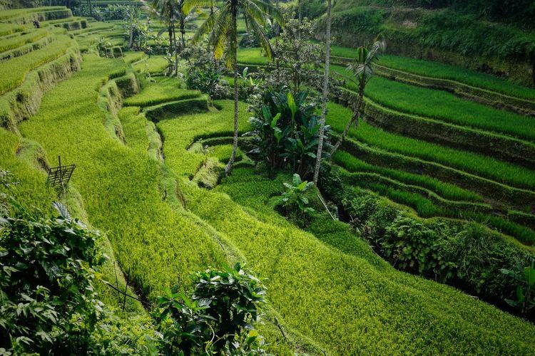 Tegelalang Rice