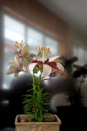 Asiatic Lilies in pot Asiatic Lily Floral Flowers Lilies Lilies In Bloom Still Life EyeEm Selects Flower Growth Fragility Petal Plant Nature Beauty In Nature Freshness Indoors  No People Springtime Potted Plant Indoors  Close-up The Still Life Photographer - 2018 EyeEm Awards Capture Tomorrow