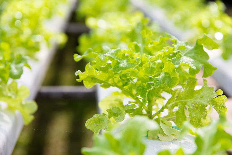 Green Hydroponic Lettuce Beauty In Nature Close-up Day Farming Food Food And Drink Freshness Green Color Growth Healthy Eating Hydroponic Hydroponic Vegetables Hydroponicsystem Leaf Nature No People Outdoors Plant Selective Focus Vegetable Vegetable Garden