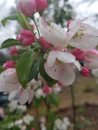 Crab apple tree Flower Tree Crab Apple Tree Pink And White Flower