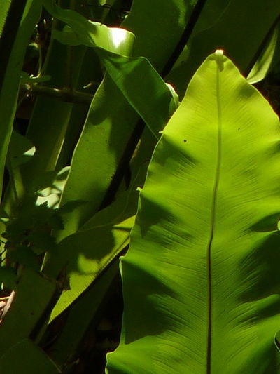 Bird's-nest fern、 Nest fern Bird's-nest Fern Nest Fern Aleq Beauty In Nature Close-up Day Flower Flowering Plant Fragility Freshness Full Frame Green Color Growth Leaf Leaves Nature No People Outdoors Plant Plant Part Selective Focus Tranquility Vulnerability