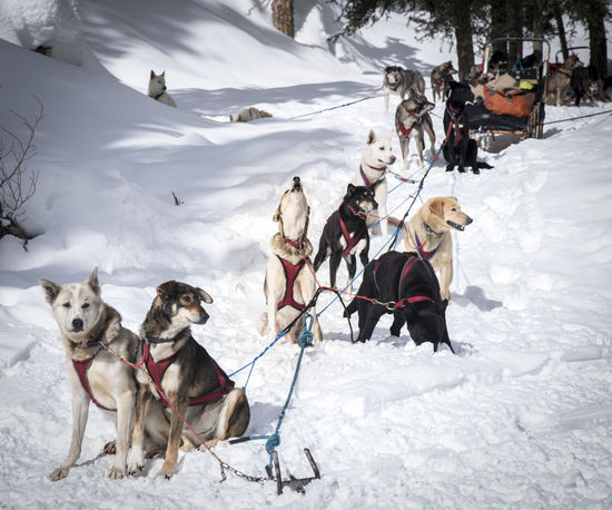 Cold Temperature Covering Day Dogsledding Domestic Animals Field Herbivorous Iditarod Landscape Livestock Mammal Mushing Nature Outdoors Season  Snow Weather White Color Winter