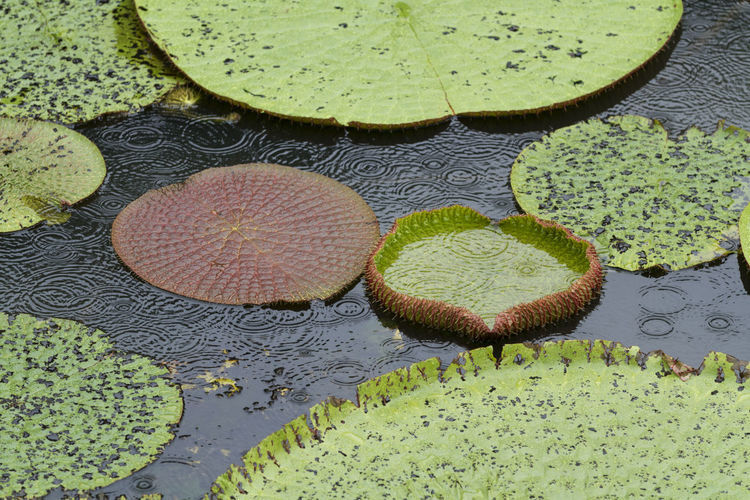 High angle view of fruits on leaves floating in pond