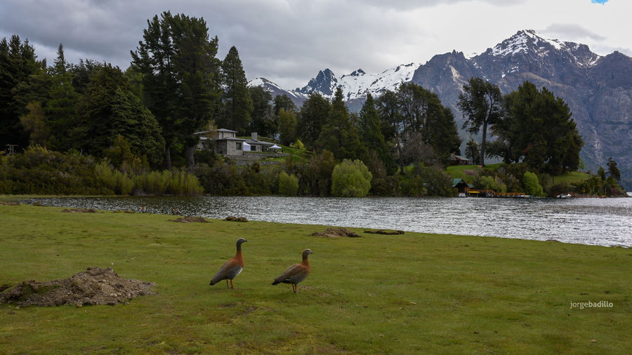 Hotel #LlaoLlao #Argentina #Bariloche Water Animal Themes Plant Bird Tree Animal Animals In The Wild Animal Wildlife Beauty In Nature Vertebrate Mountain Lake Nature No People Day Scenics - Nature Group Of Animals Green Color Grass Outdoors Bariloche, Argentina Llao Llao Patagonia Argentina