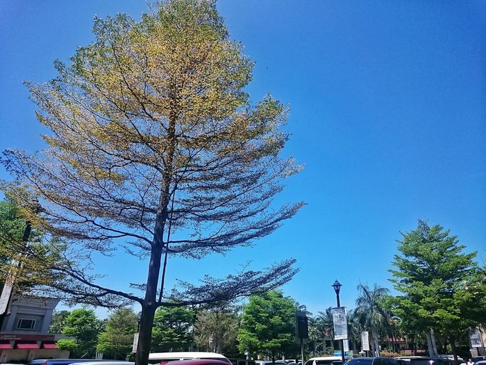 Blue Sky Clear Sky Tree Low Angle View No People Growth Outdoors Day Nature City Travel Destinations