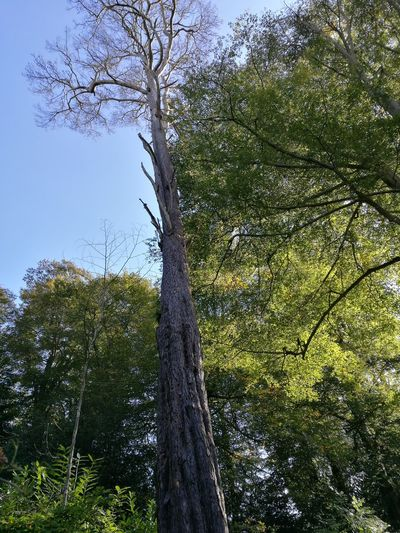 Low Angle View Tree Tree Trunk Growth Branch Clear Sky Tranquility Nature Scenics Tranquil Scene Green Tall Beauty In Nature Sky Day Tall - High Green Color Blue Outdoors Solitude