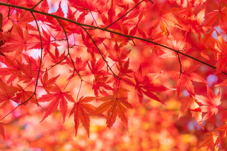 Abstract ASIA Autumn Background Beautiful Blur Botany Bright Closeup Color Colorful Cute Defocused Fall Foliage Forest Garden Growth Japan Japanese  Kyoto Leaf Light Lush Macro Maple Momiji Natural Nature November October Orange Organic Outdoor Park Plant Red Scene Season  Shallow Shinto Tree Vivid Yellow Zen