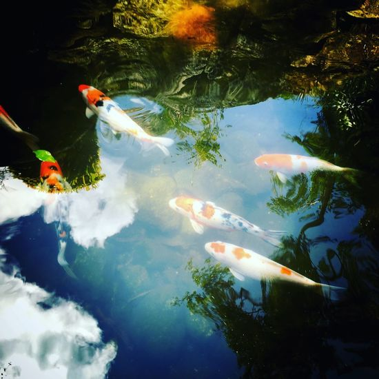 High angle view of koi carps swimming in pond at park