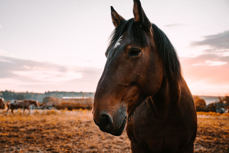 Portrait of horses standing at ranch against sky during sunset