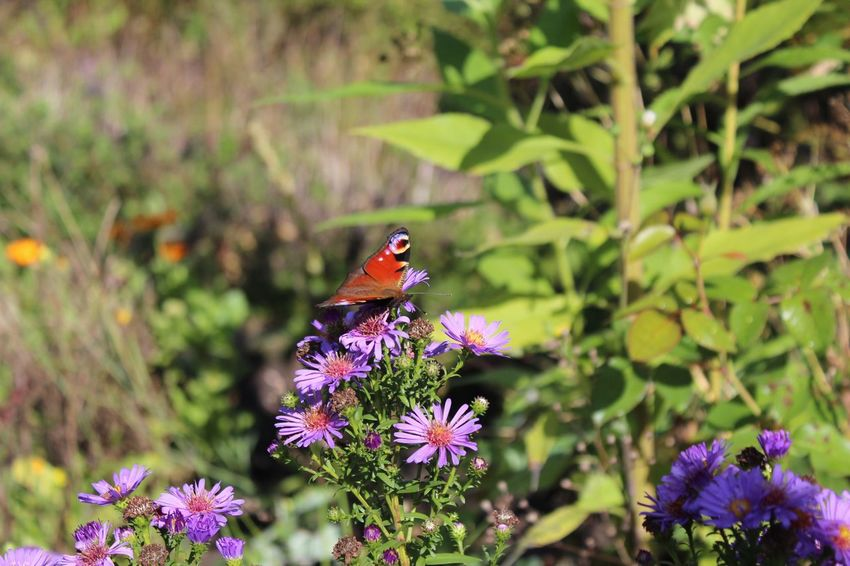 Flower Animal Themes One Animal Animals In The Wild Insect Plant Nature Fragility Beauty In Nature Growth Day Petal No People Purple Outdoors Freshness Animal Wildlife Focus On Foreground Flower Head Blooming Herbst17 🦋 Beauty In Nature Low Angle View Close-up Nature