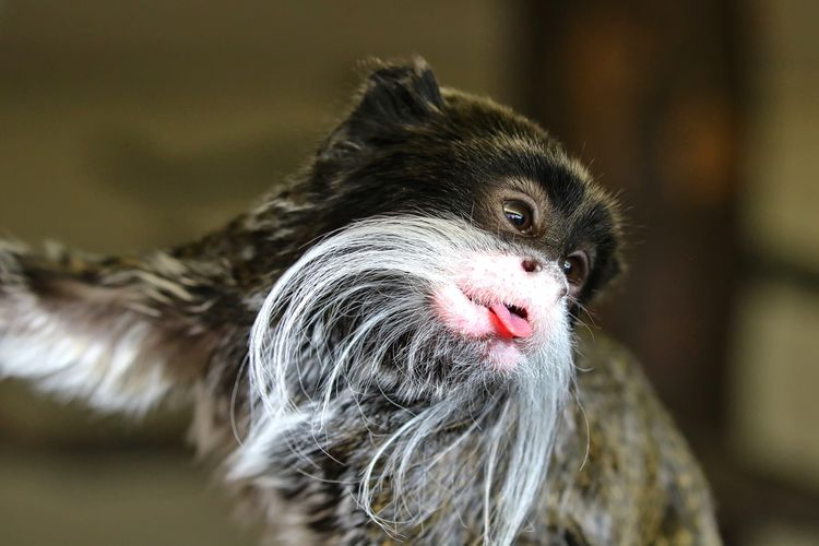 Cheeky Emperor Tamarin Monkey Animal Themes Close-up Day Domestic Animals Indoors  Looking At Camera Mammal No People One Animal Portrait