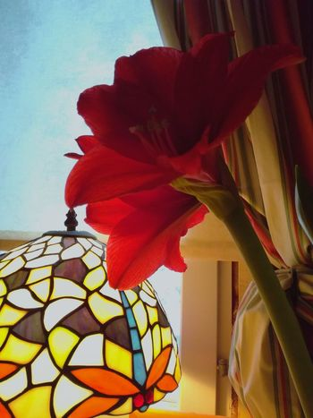 Flower Red Leaf Fragility Flower Head Growth Close-up Plant Freshness No People Atmosphere Blooming In Bloom Poinsettia Tiffany Lamp Petal Curtain Library