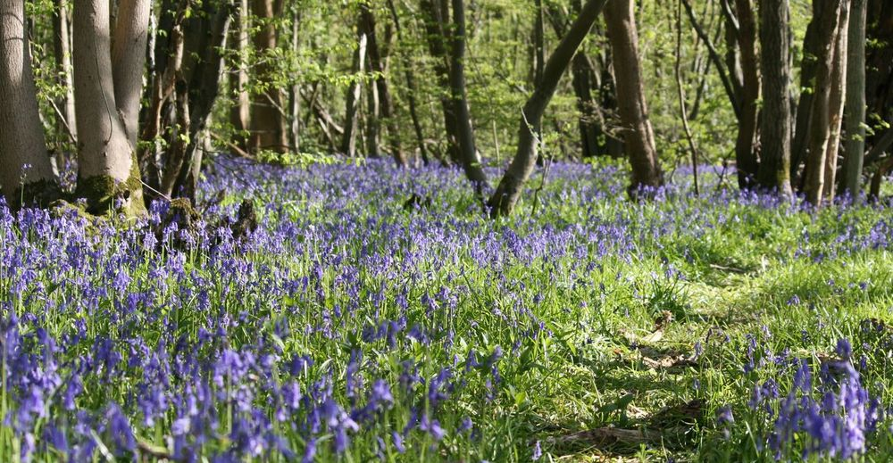 Beauty In Nature Blooming Bluebell Bluebells Day Flower Forest Fragility Freshness Grass Growth Idyllic In Bloom Landscape Nature No People Outdoors Plant Purple Spring Spring Flowers Tranquility Tree Tree Trunk WoodLand