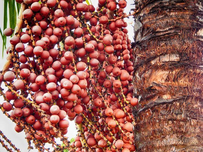 Abundance Buriti Large Group Of Objects Nature No People Organic Outdoors Red Tree
