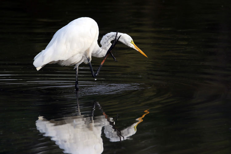 Egret Scratch Animal Animal Behavior Animal Themes Animal Wing Animals In The Wild Beak Beauty In Nature Bird Egret EyeEm Nature Lover Flapping Floating On Water Great Egret Lake Nature Scratch Swimming Tranquility Water Water Bird Wildlife Zoology