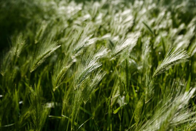 Growth Green Color Plant Field Land Beauty In Nature No People Selective Focus Wheat Rural Scene Tranquility Agriculture Cereal Plant Grass Outdoors Focus On Foreground Nature Crop  Close-up Day